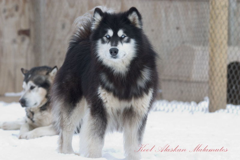 Husky Malamute Or Husky Hybrid Malamute Hybrid To Me Pictures to pin ...